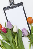 Tulips frescos no fundo branco Foto de Stock