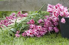 Tulips fresh cut Royalty Free Stock Images