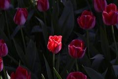 Tulips fresh and elegant Royalty Free Stock Image