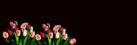 Tulips in front of a black background Royalty Free Stock Image