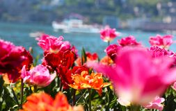 Tulips in front of a lake royalty free stock images