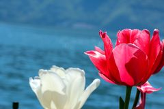 Tulips in front of a lake stock image