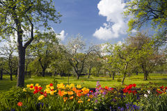 Tulips in front of orchard garden stock photography