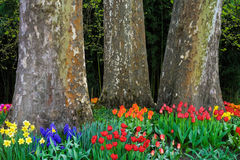Tulips in front of three huge trees in Spring. Tulips in front of three huge plane trees in Spring Royalty Free Stock Image