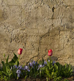 Tulips in front of a wall Stock Image