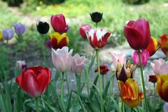 Tulips. In full bloom Stock Photography