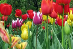 Tulips. In full bloom Royalty Free Stock Photos
