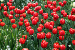 Tulips in full bloom Royalty Free Stock Photo