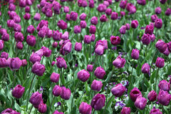 Tulips in full bloom Royalty Free Stock Photography