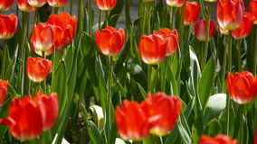 Tulips in full bloom. Gh2_01690 stock video footage