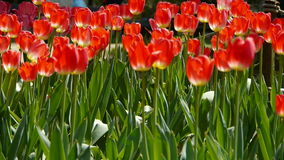 Tulips in full bloom. Gh2_01688 stock video footage