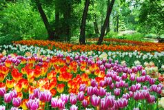 Color oasis with tulips. Tulips in full bloom in Moscow in the Apothecary garden Royalty Free Stock Photo