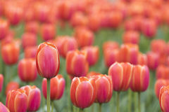 Tulips in full bloom Royalty Free Stock Image