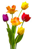 Tulips. In full bloom on a white background Royalty Free Stock Photo