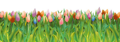 Tulips galore. Bouquet of tulips in various colors on white background  wide banner border Stock Image