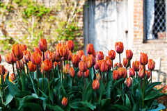 Tulips in a garden Royalty Free Stock Image