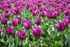 Tulips in the garden. Tulips in my garden on the sunny day Royalty Free Stock Photography