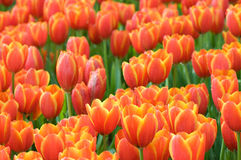 Tulips in the garden Stock Image