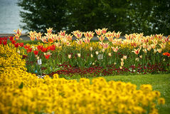 Tulips in a garden. Tulips of various colors in a garden Stock Images