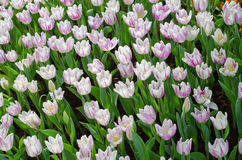 Tulips in garden. White and purple Tulips in garden Royalty Free Stock Photo