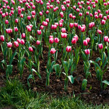 Tulips in the garden Stock Photo