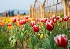Tulips in the garden Royalty Free Stock Photos