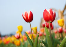 Tulips in the garden Stock Photography