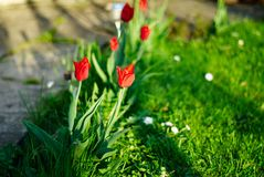 Tulips in a garden Stock Photo