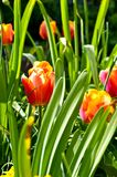 Tulips in Garden Royalty Free Stock Photo