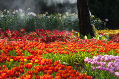 Tulips garden Royalty Free Stock Images