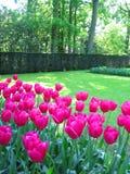 Tulips garden Stock Images