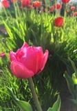 Tulips. In garden Stock Photo