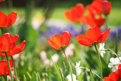 Tulips in the garden. Many fresh spring tulip in the garden Stock Images
