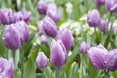 Tulips in the Garden. Purple Tulips in the Garden Stock Images