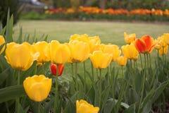Tulips garden. Yellow tulips Royalty Free Stock Photo