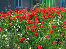 Tulips. The garden of tulips in april Royalty Free Stock Photo