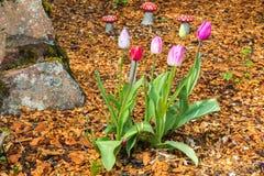 Tulips in a Garden Royalty Free Stock Photos