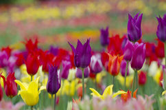 Tulips in the garden Royalty Free Stock Image