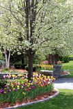 Tulips in garden. Beautiful display of tulips in garden with a tree in full bloom Royalty Free Stock Image