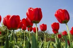 Tulips in the garden Stock Image
