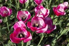 Tulips in garden. Beautiful tulips in garden in summer stock images