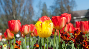 Tulips in the garden Stock Images