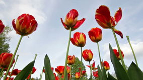 Tulips in a Garden. Blowing in the Wind stock video