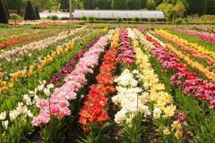 Tulips Garden. Chateau de Chenonceau. Chenonceaux. France Stock Images