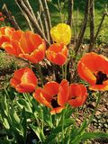 Tulips in the garden. Colorful tulips in the garden, green grass, shrubs in the back, summer, Canada PEI Stock Image