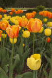 Tulips in the garden. Colorful tulips growing in a garden Stock Image