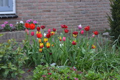 Tulips in a garden Stock Photography