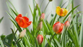 Tulips in garden. Disclosed red and yellow tulips in garden stock footage