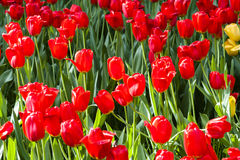 Tulips garden Royalty Free Stock Photos