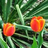 Tulips in  garden flowerbed Stock Image